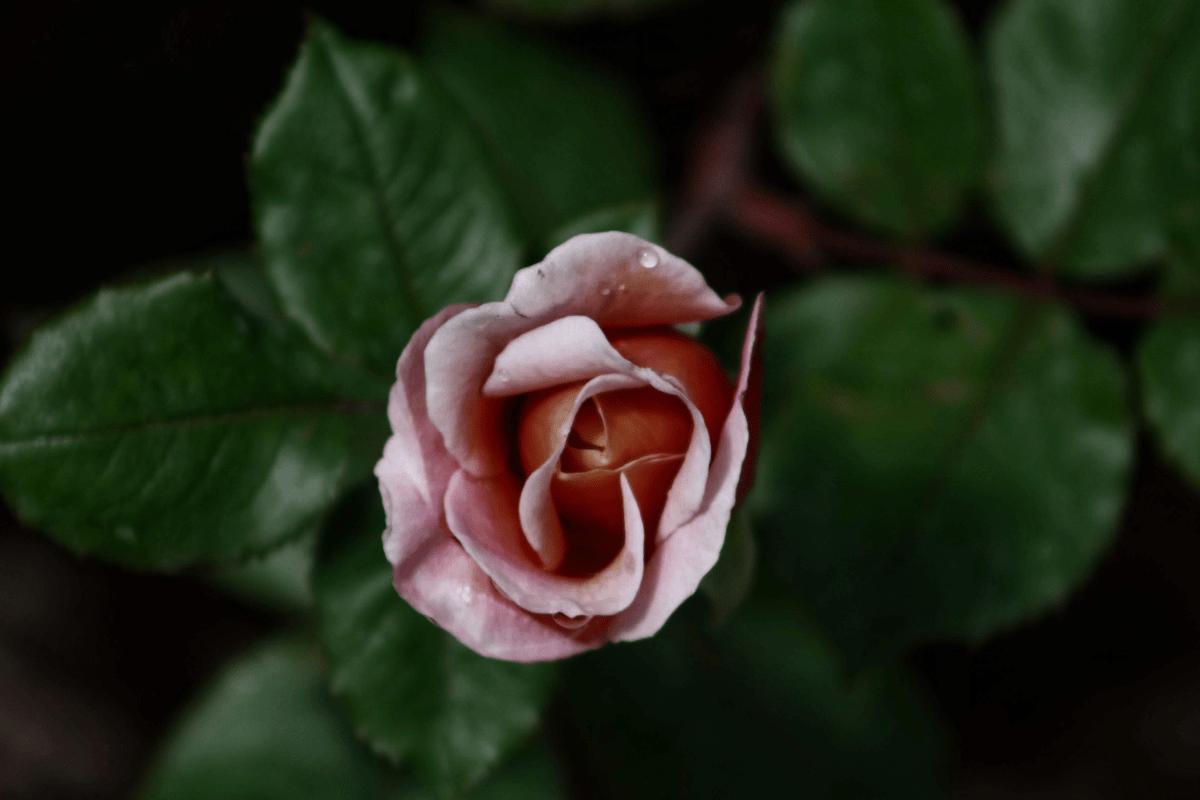 Bicarbonate De Soude Contre Les Pucerons mes conseils pour lutter et traiter les maladies du rosier